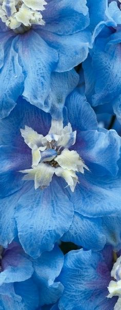 Blue delphinium--There once was a mouse who made his bed in delphiniums blue and geraniums red.  A A Milne