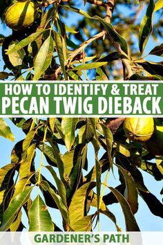 Stressed pecan trees can be susceptible to pecan twig dieback disease. Discover the steps you can take to manage and prevent it now on Gardener's Path. Plant Tissue, Raised Garden Beds, Raised Bed, Greenhouse Plants, Diy Herb Garden, Plant Diseases, Tree Care, Gardening Tips, Vegetable Gardening
