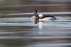 A pair Buffleheads stopped by this northern Connecticut lake, on his way to the summer breeding grounds in Canada and Alaska.Bufflehead nest in old woodpecker holes, particularly those made by Northern Flickers, in the forests of northern North America.None