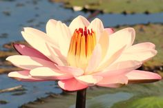 Water Lilly, White City Park