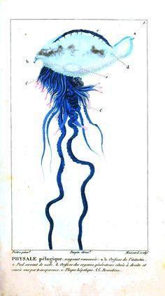 Animal - Fish - Jellyfish, 1834