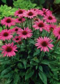 Jeżówka purpurowa 'Ruby Star' Raining Outside, Spring Blooms, Flowers Perennials, Real Beauty, Dream Garden, Pretty Flowers, Backyard Landscaping, Garden Design, Cute Dogs