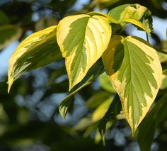 Cornus sericea 'Hedgerows Gold'Best grown in organically rich, medium to wet soils in full sun to part shade. Tolerant of a wide range of soils, including swampy or boggy conditions. Trim roots with a spade and promptly remove root suckers if colonial spread is undesired.