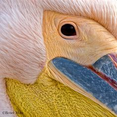 The Great White Pelican in Danube Delta, Romania Danube Delta, Underwater Images, Audubon Society, The Great White, Parcs, Birds Eye View, History Museum, Bird Species, Color Theory