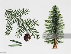 coast redwood, California redwood or Giant redwood (Sequoia sempervirens), Cupressaceae, tree, leaves and fruit, illustration.