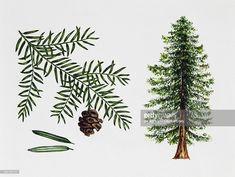 coast redwood, California redwood or Giant redwood (Sequoia sempervirens), Cupressaceae, tree, leaves and fruit, illustration.