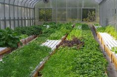 Better than a hydroponic system, a Family Aquaponic System in a solar greenhouse.