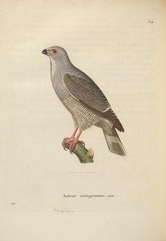 v. 1 - Nouveau recueil de planches coloriées d'oiseaux : - Biodiversity Heritage Library