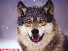 Design Pics Wolf Portrait Captive Winter Poster Print, 17 x 11 Wolf Love, Beautiful Creatures, Animals Beautiful, Cute Animals, Smiling Animals, Wolf Spirit, Spirit Animal, Winter Poster, Malamute