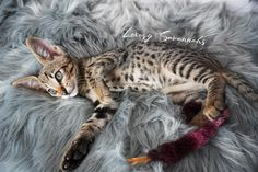 wow this savannah male has great spots and beautiful tall ears! Savannah Cat Breeders, Savannah Kittens For Sale, Savannah Chat, Serval Kittens For Sale, Kitten For Sale, Ears, Las Vegas, Animals, Beautiful