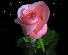 For Alfa. A single rose can be my garden. a single friend, my world. Beautiful Flowers Images, Beautiful Pink Roses, Love Rose, Love Flowers, Colorful Flowers, Pretty In Pink, Flowers Nature, Beautiful Birds, Rose Images