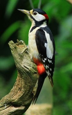 Woodpecker  by Ian Rentoul
