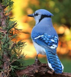Colorful Blue Jay