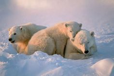 Polar bear family - John Pitcher/Getty Images