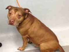 ~ KILLED IN SILENCE BY NYCACC ~  JOHN – A1074486  **DOH-B  05/20/16**  MALE, BROWN, PIT BULL MIX, 5 yrs STRAY – ONHOLDHERE, HOLD FOR DOH-B Reason BITEPEOPLE Intake condition UNSPECIFIE Intake Date 05/20/2016, From NY 10468, DueOut Date05/23/2016, I came in with Group/Litter #K16-058224.