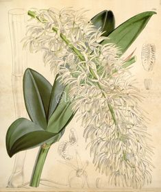orchids-00633 Dendrobium speciosum var. hillii (as Dendrobium hillii Hook.)  botanical floral botany natural naturalist nature flowers flower beautiful nice flora plants blooming ArtsCult.com Artscult ArtsCult vintage printable public domain 300 dpi commercial use 1800s 1700s 1900s Victorian Edwardian art clipart royalty free digital download picture collection pack paintings scan high qulity illustration old books pages supplies c