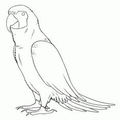 how to draw parrots, draw macaws