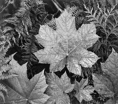 Ansel Adams. Beautiful shaped leaf. Love how the image doesn't need colour - I can imagine the beautiful orange colour that leaf would be.