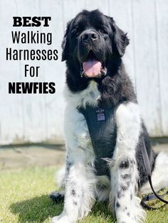 Best Walking Harnesses For Newfoundland Dogs - My Brown Newfies Brown Newfoundland Dog, Black Lab Puppies, Corgi Puppies, Medication For Dogs, Purebred Dogs, Dobermans, Dog Grooming Business, Black Labrador, Black Labs