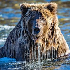 "Paul Nicklen Photography | ""Bears hate to put their ears underwater, so they often 'snorkel'. They put their eyes underwater to look for salmon that are hiding in the pools while keeping their ears above water so they can listen for any outside threats. The biggest concern for bears on these rivers is the threat of other bears or hunters. I took great comfort in that this bear snorkeled up to me on the river bank."""