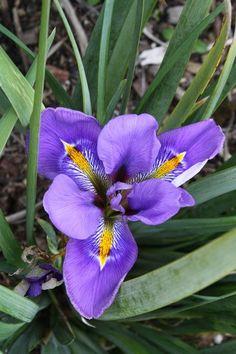 Iris unguicularis Winter Echoes
