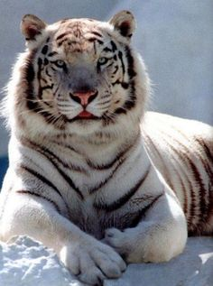 White Siberian Tiger | White Siberian Tiger Wallpapers