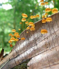nature original mushrooms Fungi India Fungus mycology Basidiomycota agaricomycetes agaricales marasmius marasmiaceae