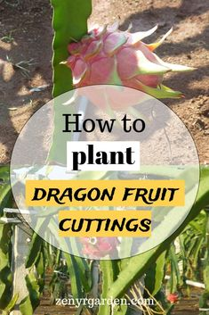 How to Plant Dragon Fruit Cuttings Nutritious Smoothies, Healthy Fruits, Fruit Smoothies, Smoothie Recipes, Dragon Fruit Cactus, How To Grow Dragon Fruit, Growing Dragon Fruit, Dragon Fruit Garden, Fruit Plants