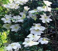 Clematis 'Madame le Coultre' - Waldrebe