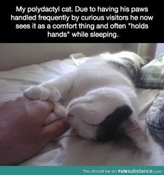 My polydactyl cat... Awe! My kitty has 7 toes on each front foot! she loves her feet to be played with!