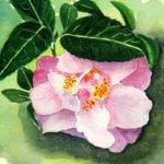 #worldwatercolormonth July 17 Pink Camellia Karen Smith