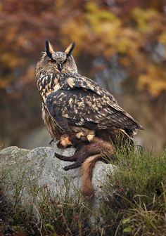 Uhu - Eurasian Eagle Owl by Martin Mecnarowski Steinkäuze - Little Owls source: Waldohreule - Long-eared Owl by Sasc. Beautiful Owl, Animals Beautiful, Cute Animals, Owl Photos, Owl Pictures, Eurasian Eagle Owl, Owl Species, Nocturnal Birds, Owl Eyes