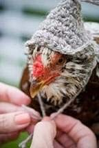 Chickens make fun pets. Some people are even making sweaters, hats and diapers for them.