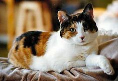 Fascinating Facts and Cute Pictures of Calico Cats Kittens Cutest, Cats And Kittens, Ragdoll Kittens, Tabby Cats, Funny Kittens, Bengal Cats, Kitty Cats, White Cats, Blue Cats