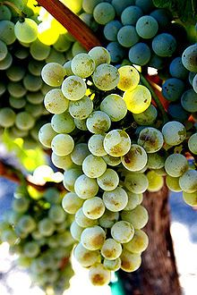 Sémillon is one of Bordeaux's big white wine grapes.  Sémillon is a perfect candidate for sweet white wine. The Sémillon grape is the dominant grape used in making the ultra unctuous, sweet Sauternes of Bordeaux.