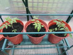 2014.04.27 First 3 tomatoes into greenhouse as I've run out of room