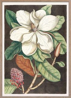 Laurel Tree (Magnolia altissima) – Paper Ministry