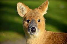 The Cutest (& friendly! Thought it (not sure girl or boy) looked like a cross between a dear and a fox. Also behaviour- wise =p Water Deer, Things To Think About, Nature Photography, Fox, Chinese, Cute, Animals, Animales, Animaux