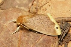 Tussock Moth (Lymantriinae, Erebidae) by itchydogimages, via Flickr