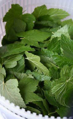 svartvinbärsblad Parsley, Gardens, Herbs, Sweets, Food, Gummi Candy, Outdoor Gardens, Candy, Essen