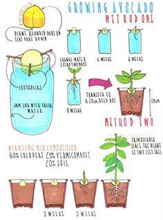 how to grow advocado