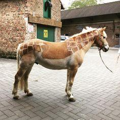 pferde scheren hier gibt es tipps fr schnittmuster schermotive pinterest pferd scheren pferde und tipps - Pferd Scheren Muster
