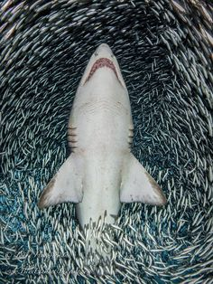 Tanya Houppermans · Wetpixel Underwater Photography · A sand tiger shark surrounded by bait fish on the wreck of the Caribsea off the coast of Morehead City, North Carolina.