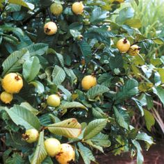 Guava - Self seeded
