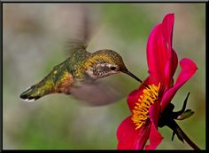 Hummingbird and Dahlia