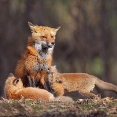 Red Foxes by Melissa Groo- sometimes I feel like this mama fox at the end of the day.