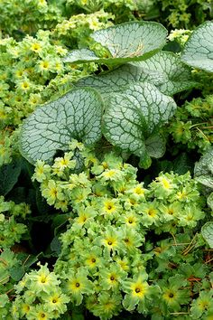 Primula Green Lace Ruffled With Yellow Centers Blooms For 2 Months