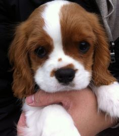 Cavalier King Charles puppy--such cute dogs. They're like cocker spaniels that never grow up. Cute Puppies, Dogs And Puppies, Cute Dogs, Doggies, Newborn Puppies, Puppies Tips, Boxer Puppies, Dogs Pitbull, Baby Animals