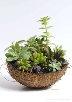 Pardon the pun but you are going to go nutty over this project. This succulent garden uses a coconut shell to create the base or pot. These coconut shells are organic and make the perfect little ho… Cacti And Succulents, Planting Succulents, Coconut Decoration, Coconut Shell Crafts, Coconut Flower, Garden Tattoos, Deco Floral, Ornamental Plants, Cactus Y Suculentas