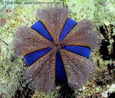 Blue tuxedo sea urchin Mespilia globulus at Bida Nai.